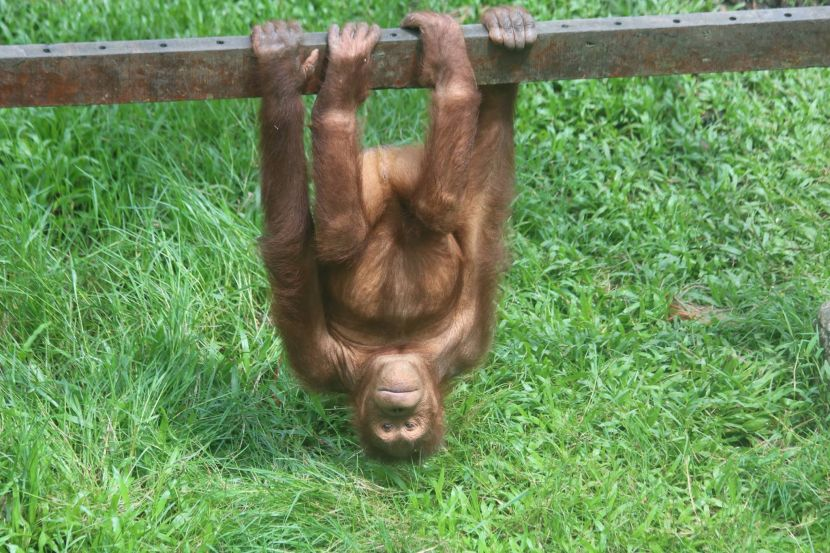 volunteer with orangutans at the matang wildlife centre