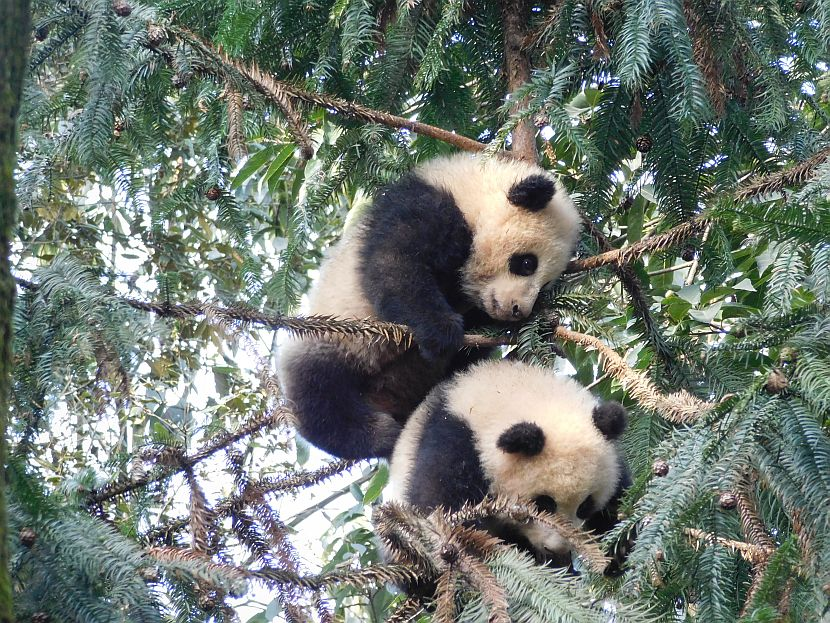 Baby Giant Panda