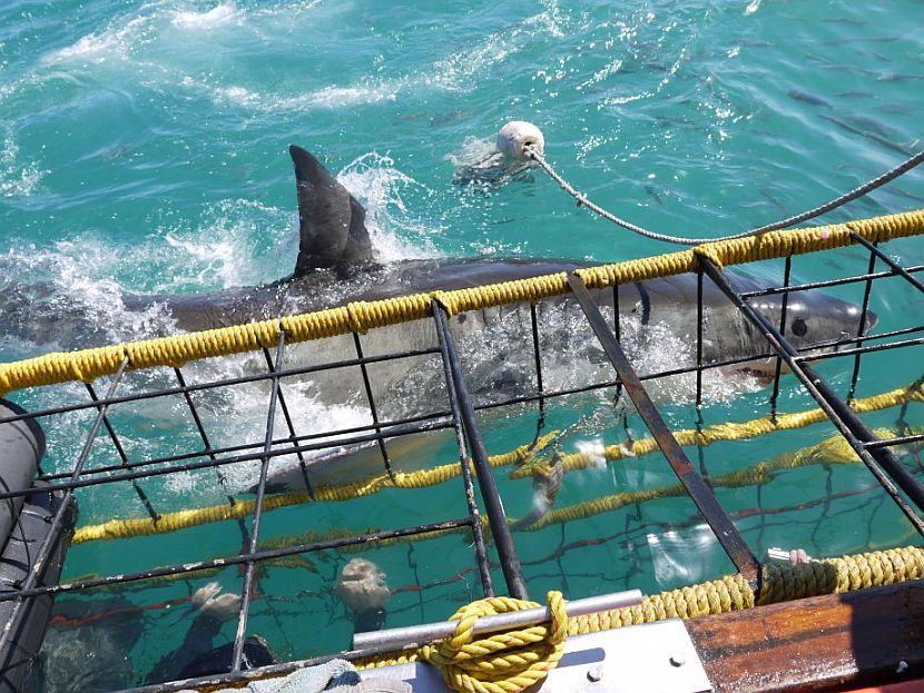 Volunteering With Great White Sharks