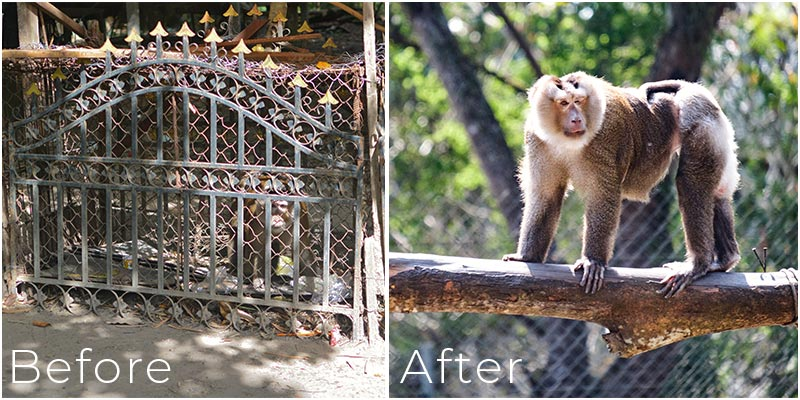 Sii pig-tailed macaque Laos Wildlife Sanctuary