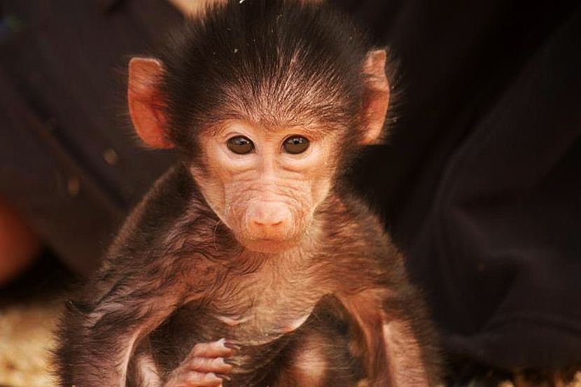 Baby baboon at NWS