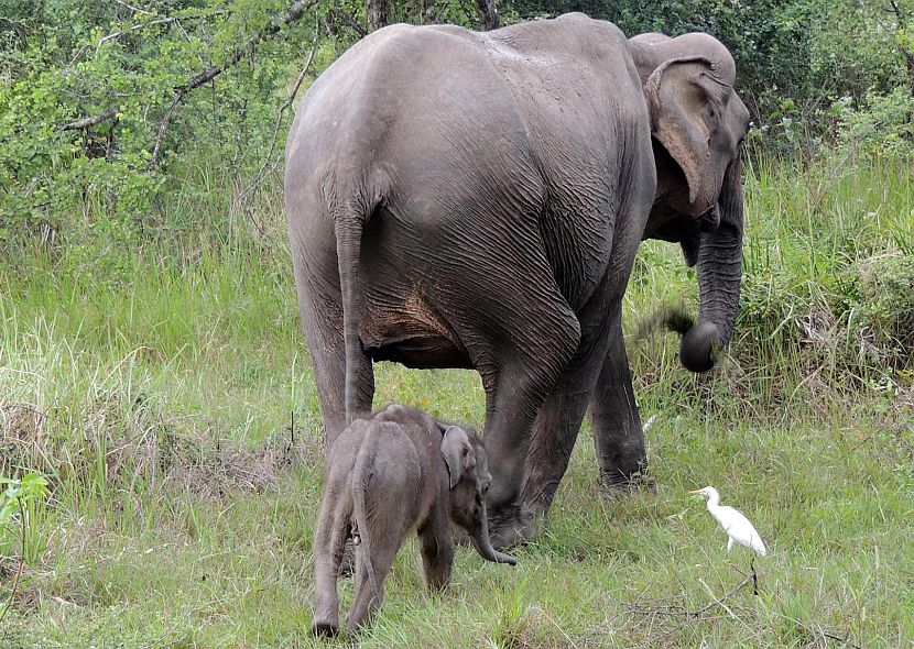 Baby elephant and mother