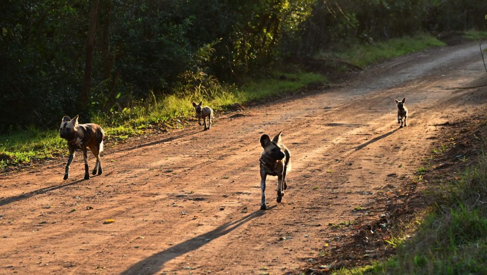 Zululand Hluwluwe Wild Dog Pack