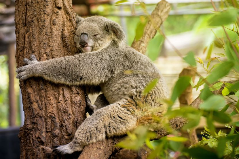 koala hugging tree