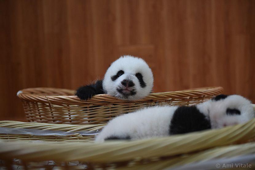 Baby panda looking at camera