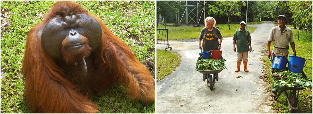 Aman The Orangutan And Volunteer Work on The Great Orangutan Project