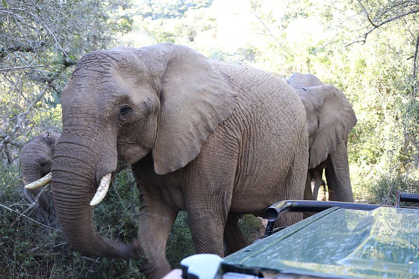 Elephants close to car in South Africa