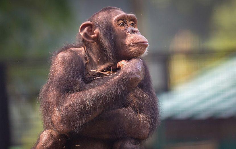 Thinking chimpanzee