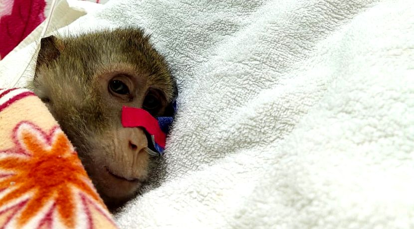 Long tailed macaque rescued