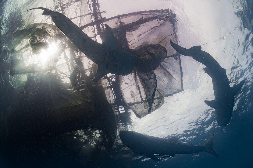 Whale shark beneath fishing net