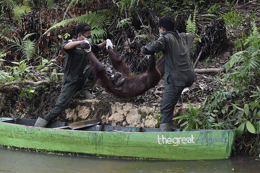Orangutansin Borneo