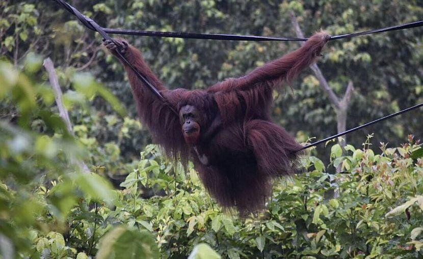 Romeo the orangutan