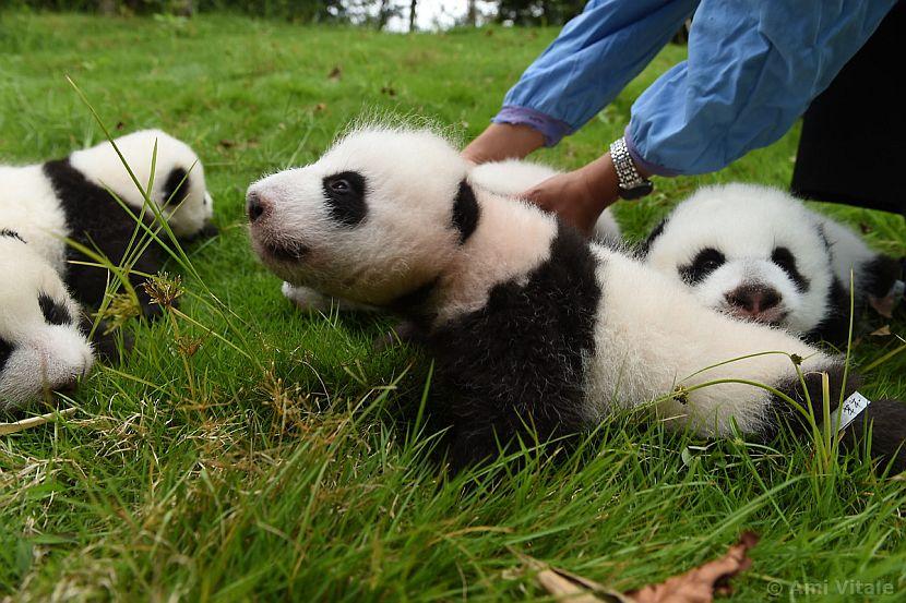Panda cub stretching