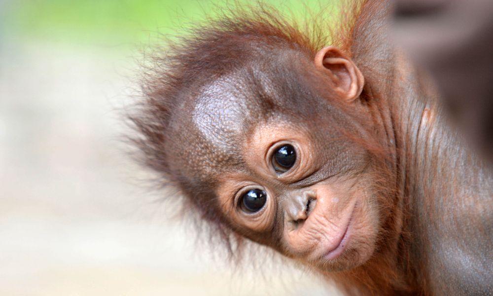Baby Onyer at Nyaru Menteng Orangutan Sanctuary