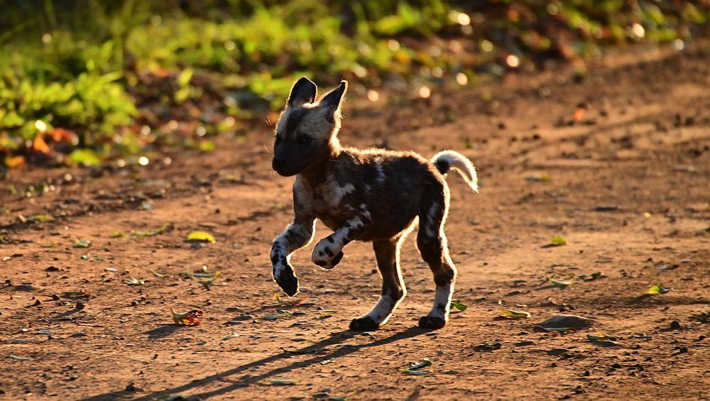 Zululand Pack Puppies