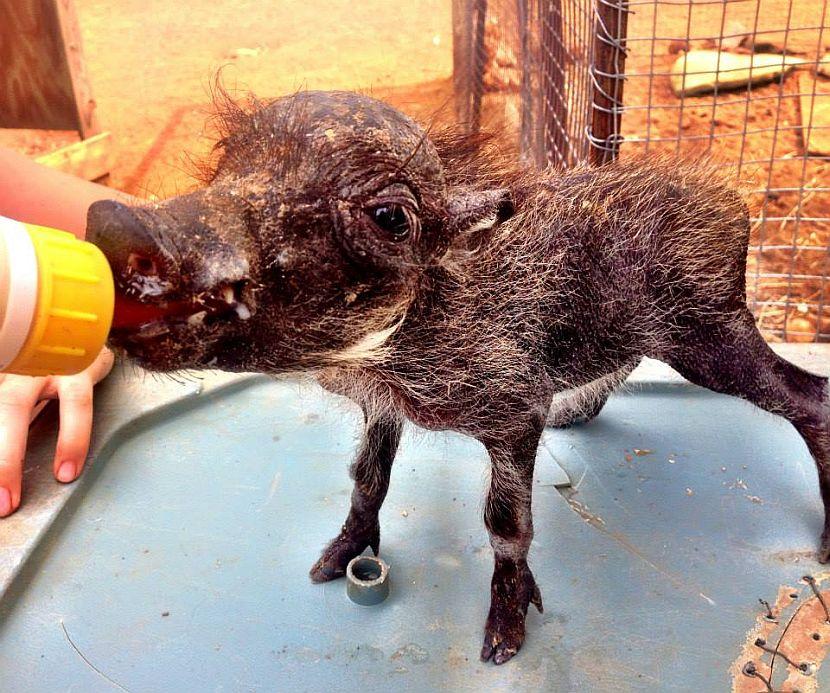 Feeding a baby warthog