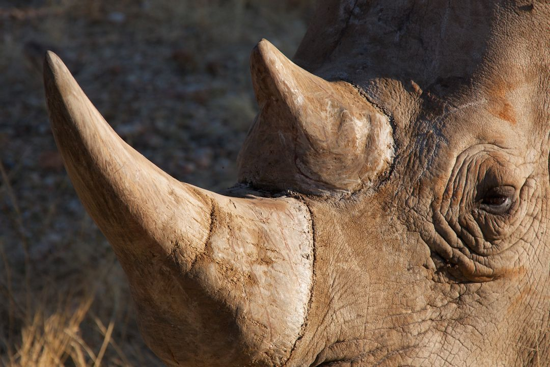 Rhino Horn - The Great Projects