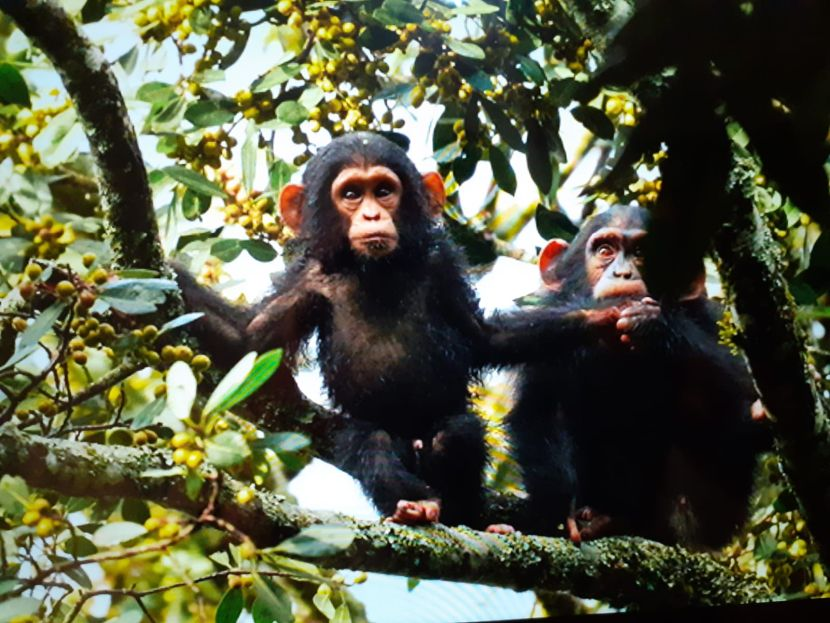 Chimps on The Great Gorilla Project