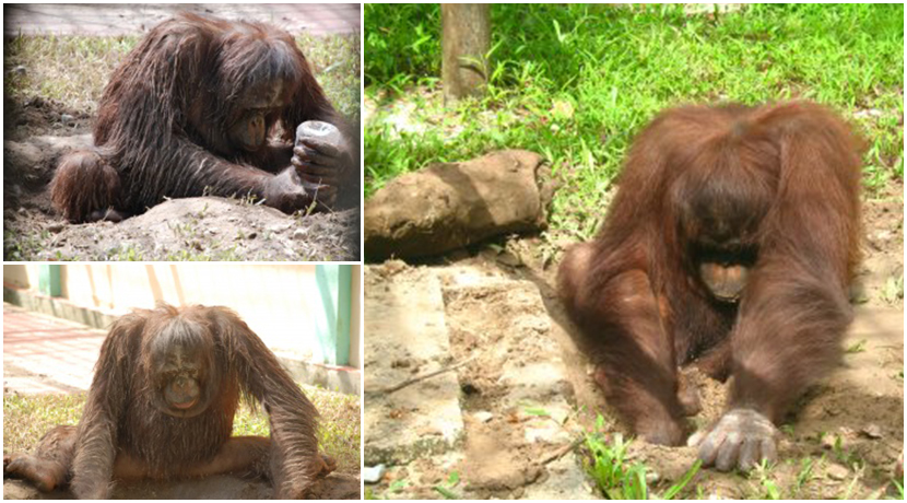 Orangutan Enrichment At The Great Orangutan Project