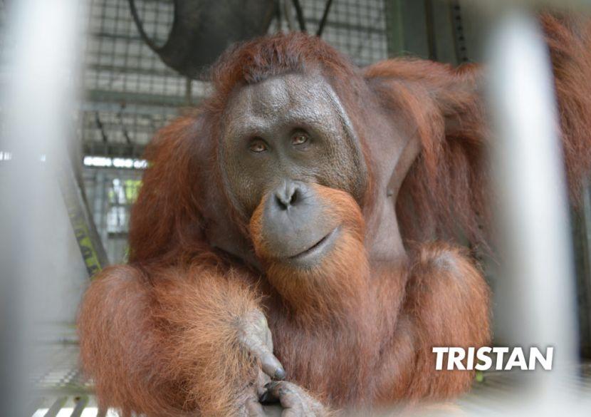 Borneo Orangutan Release Programme