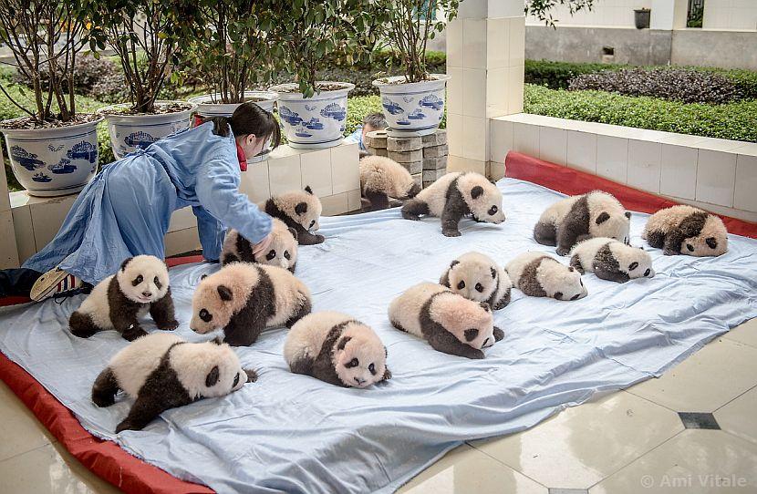 Baby pandas playing