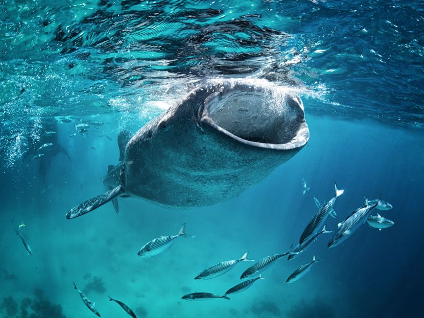 volunteer with whale sharks