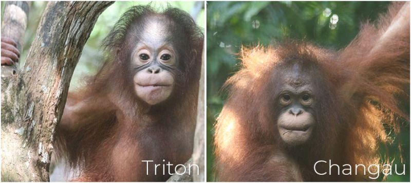 Triton and Changau The Great Orangutan Project