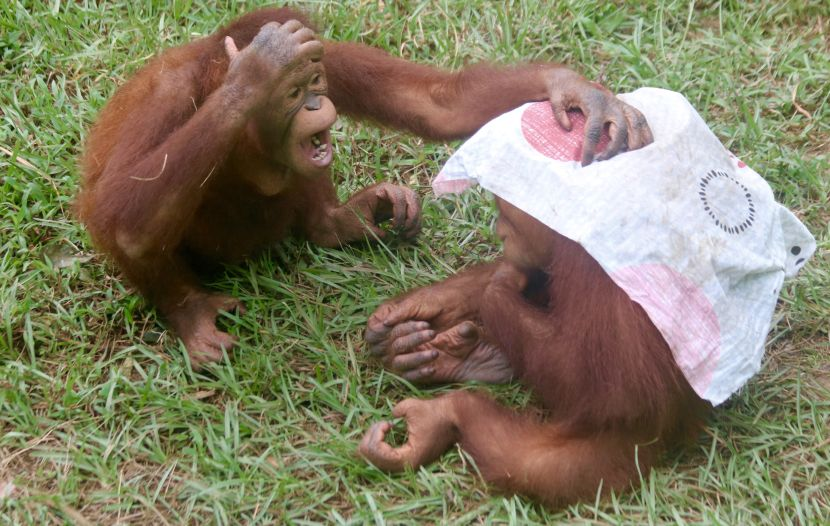 Orangutans Playing At The Great Orangutan Project