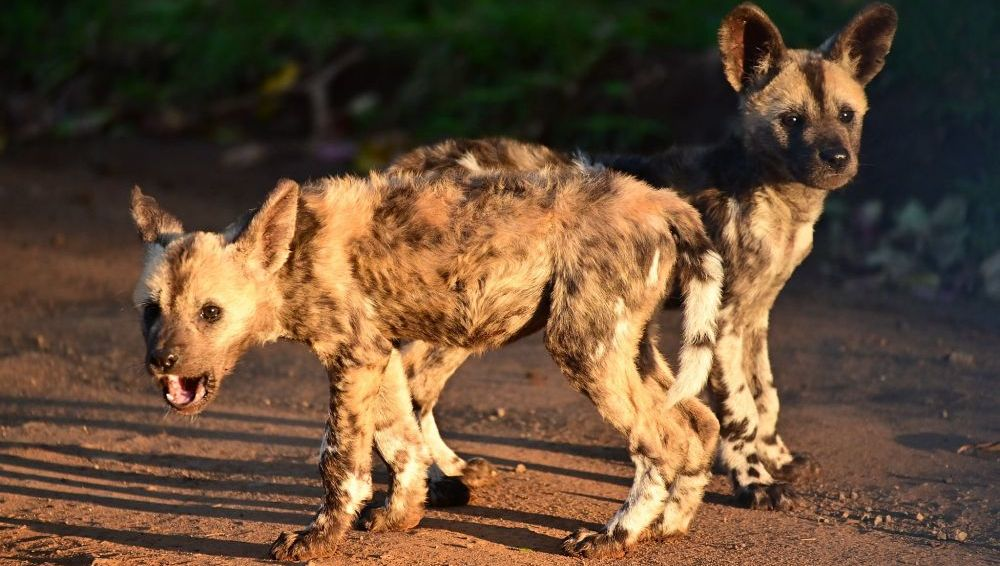 Painted Pups of Zululand Raised By Males