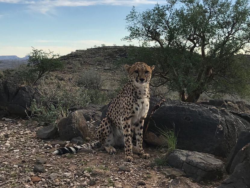 Cheetah at Neuras, Namibia