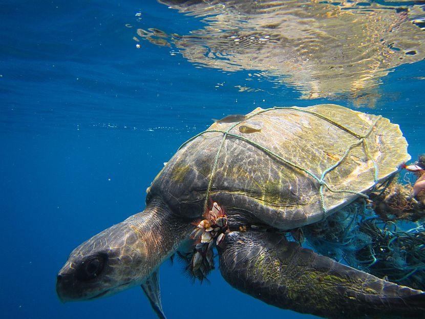 Maldives Turtle Trapped in net