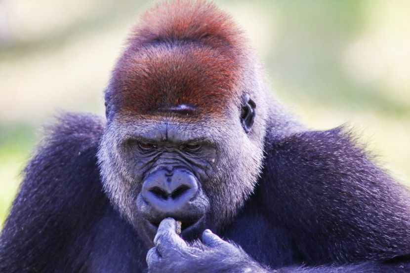 are gorillas endangered?