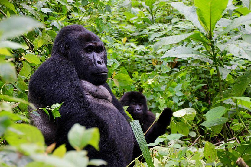 Gorilla with baby gorilla