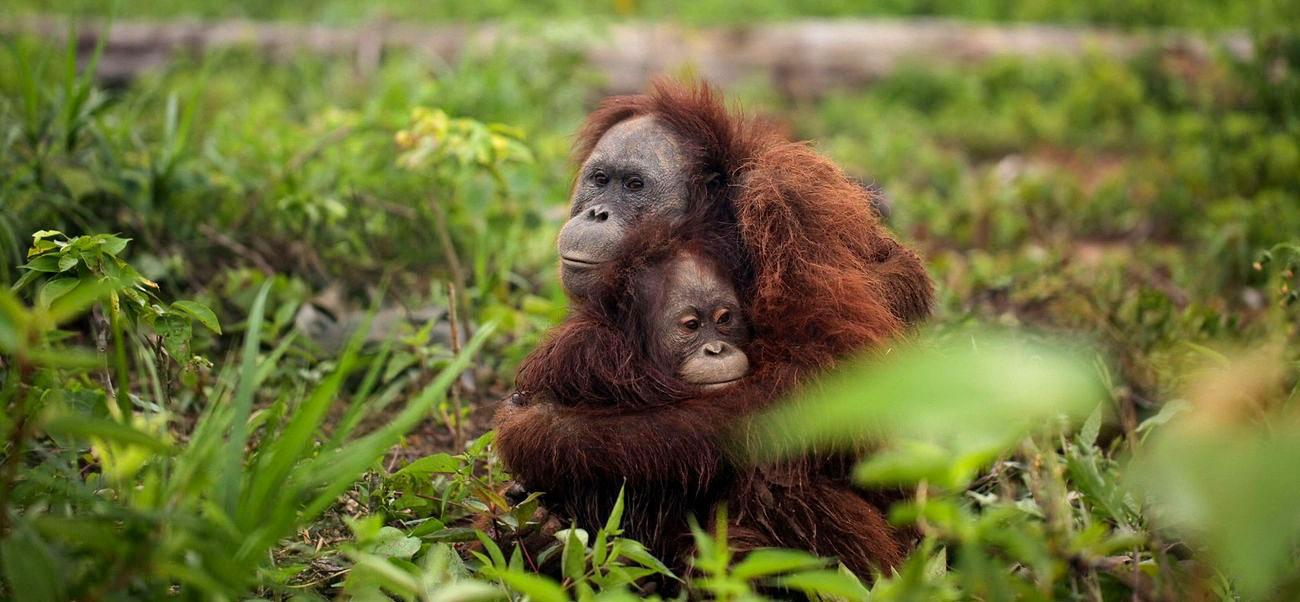 Orangutans Hugging