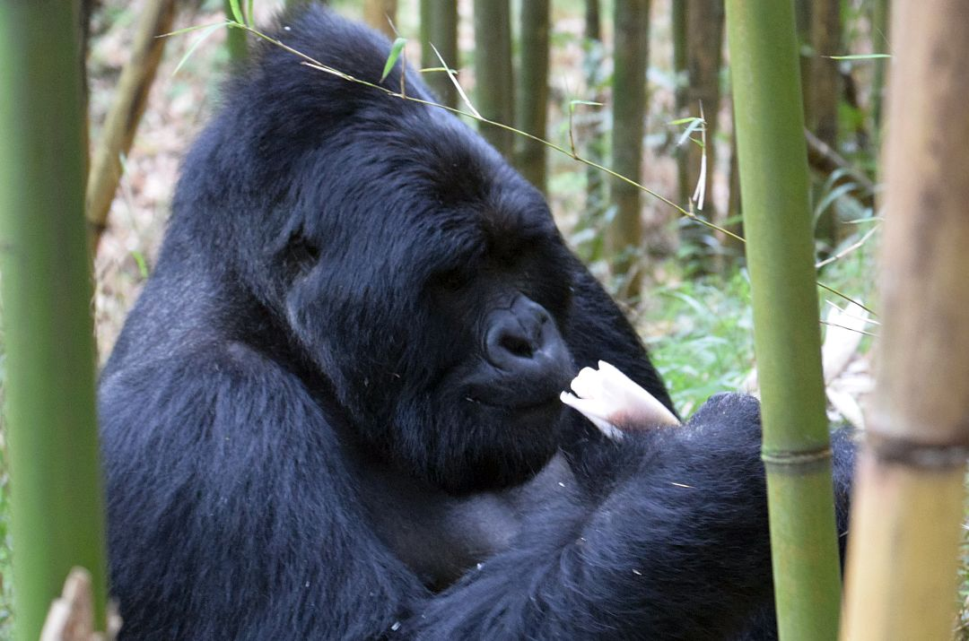 Silverback Gorilla at The Great Gorilla Project in Uganda
