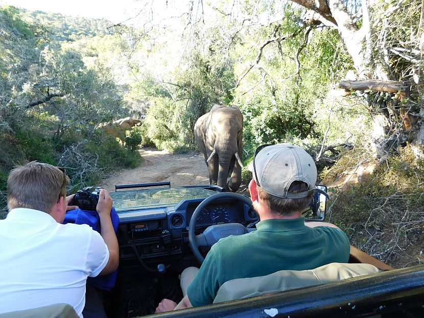 Elephant on safari in South Africa