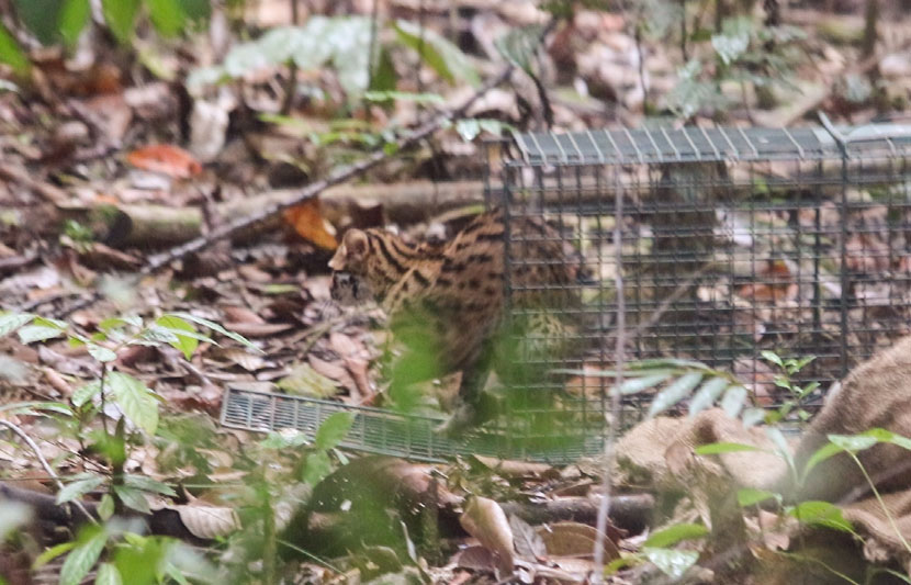 Leopard Cat Release The Great Orangutan Project