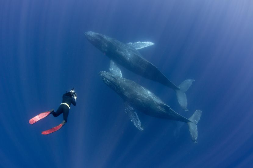 scuba diving with humpback whales marine conservation volunteer