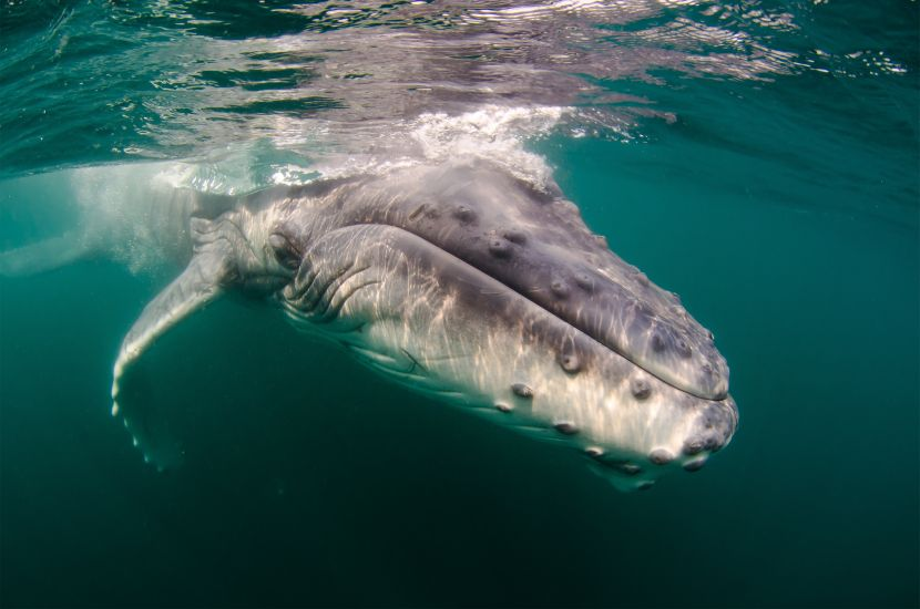 baby humpback whale in mozambique africa indian ocean