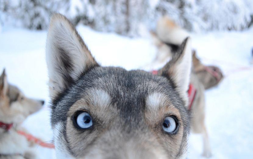 Cute husky