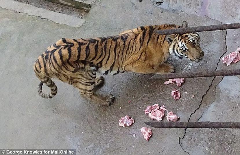 Tiger bred for medicine