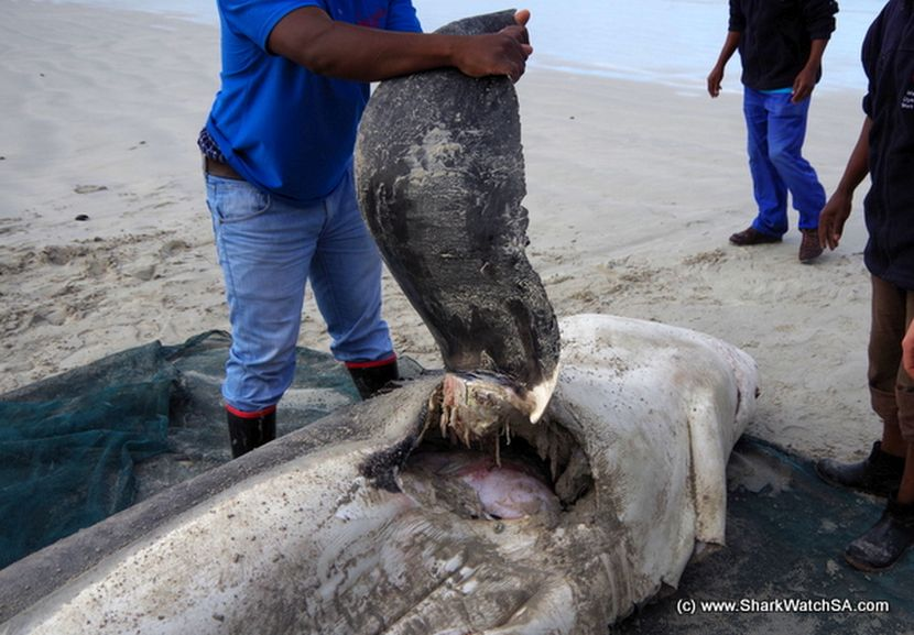 Orca attacks on great whites in South Africa