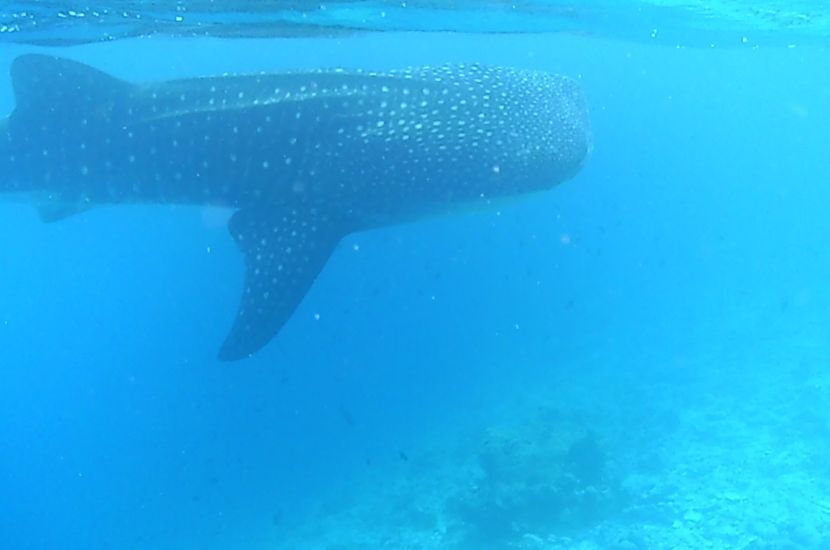 Whale Shark Conservation Project - The Great Projects