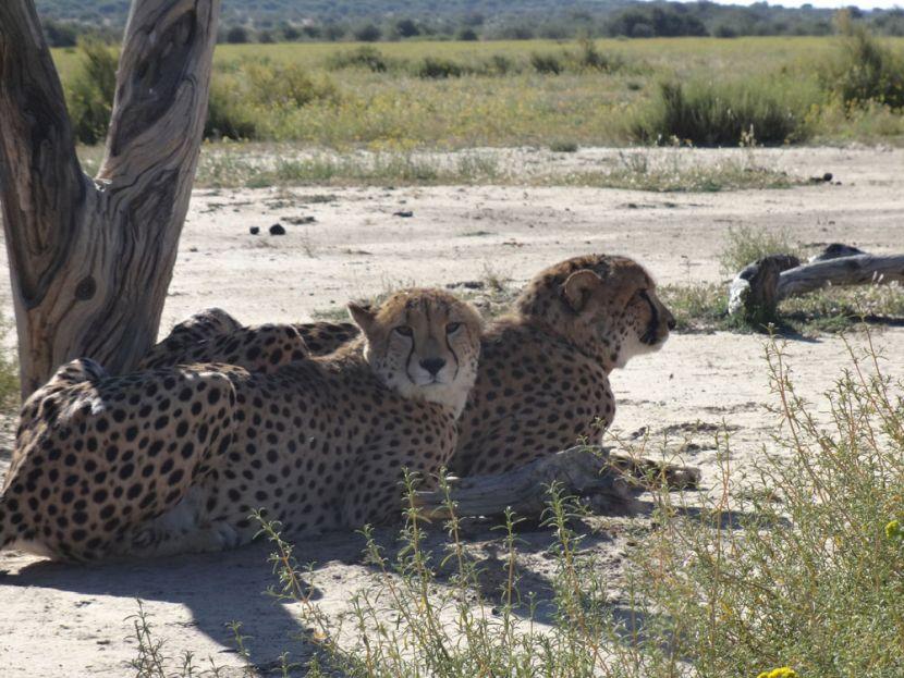 cheetahs at the Namibia Wildlife Sanctuary