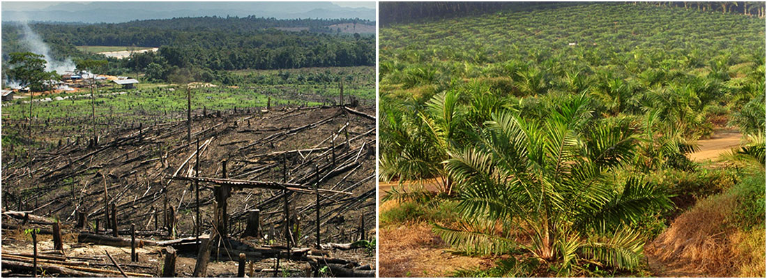 Palm oil deforestation Borneo Malaysia - The Great Orangutan Project