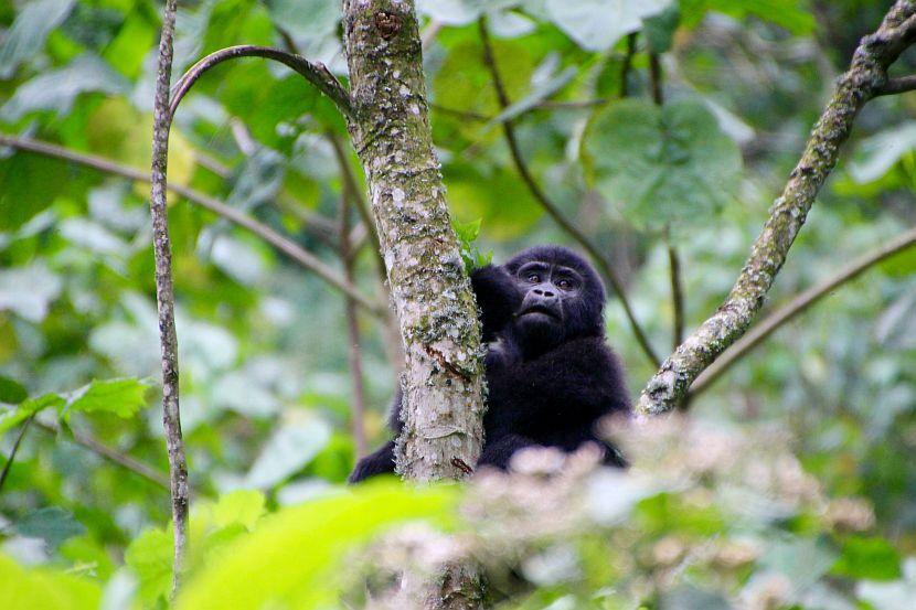 Baby Ugandan Gorilla