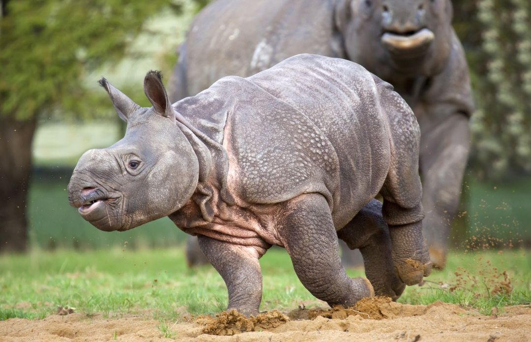 Greater One-Horned (Indian) Rhino - The Great Projects
