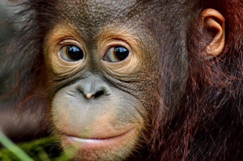 Baby orangutan at Samboja Lestari Orangutan Volunteer Project