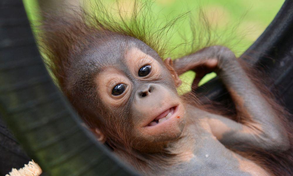 Baby Ramangai at the Nyaru Menteng Orangutan Sanctuary